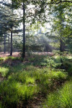 sunbeams in green coniferous forest