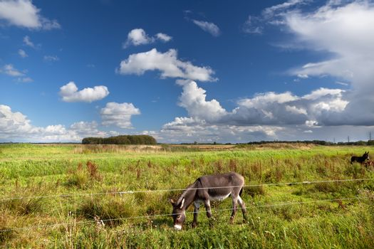 donkey grazing on pasture
