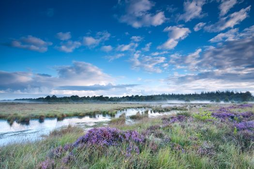 swamp in fog and flowering heather