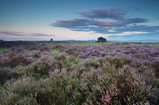 flowering pink heather at sunrise