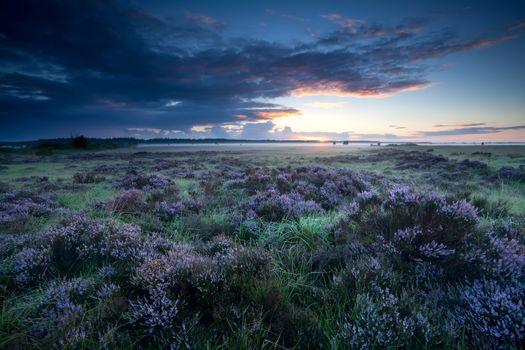 summer sunrise over flowering heather