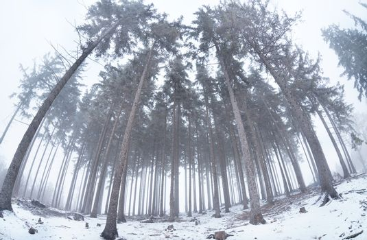 old coniferous forest in winter fog