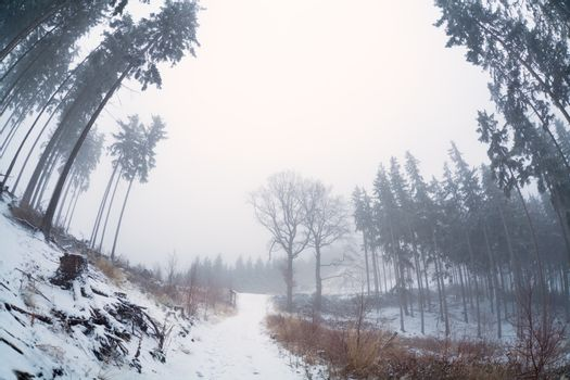old coniferous firest with morning fog