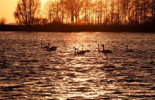 swan silhouettes on lake at sunset