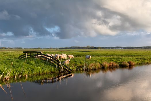 sheep herd by river on pasture