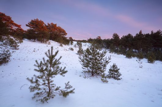 twilights in winter coniferous forest