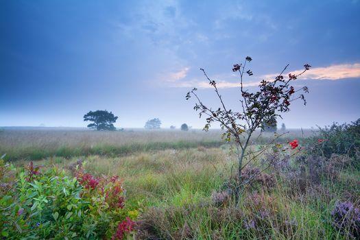rowan tree and heather on marsh in morning