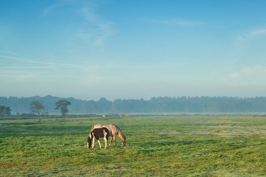 mare with foal grazing on pasture in misty morning
