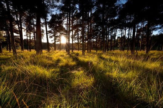 sunbeams before sunset in coniferous forest
