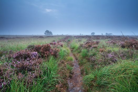 path through swamp with flowering heather