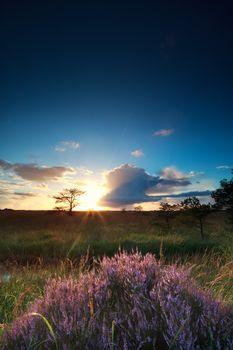 sunset sunbeams over flowering heather