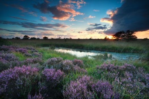 sunset over swamp with flowering pink heather