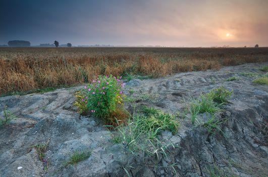 sunrise over Dutch farmland with wheat field