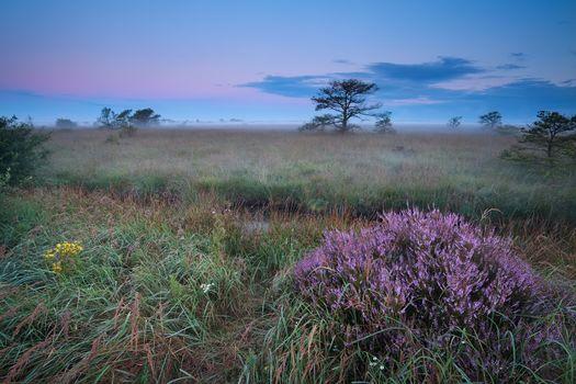 flowering wild heather in misty sunrise