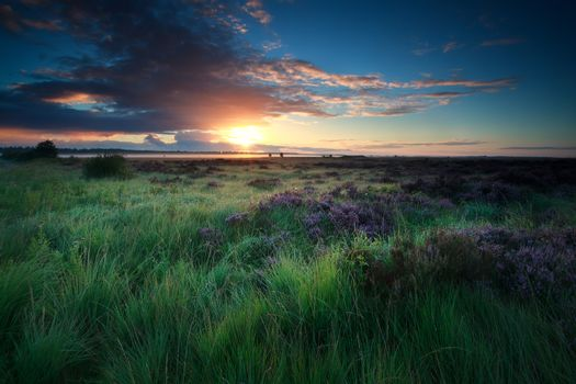 beautiful sunrise over marsh with blooming heather