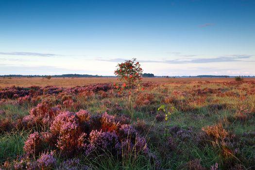 rowan berry tree on marsh with heather flowers