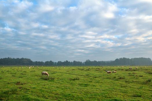 sheep herd grazing on pasture