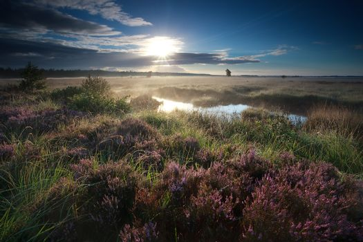 morning sunshine over blooming heather flowers