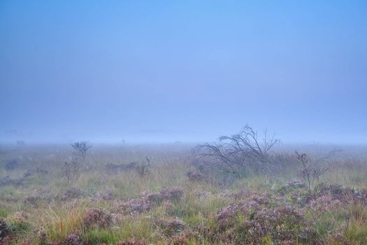 heather on swamp in misty morning