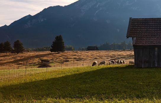 sheep grazing on alpine pasture