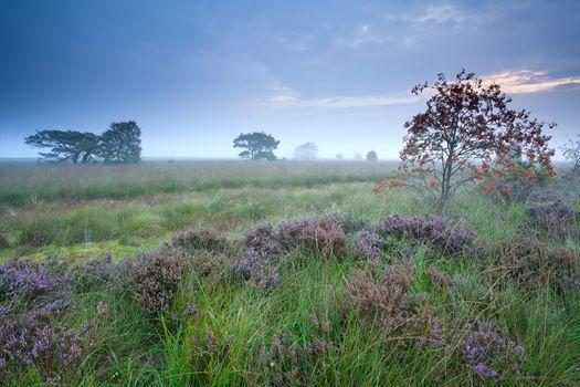 rowan berry tree on morning marsh