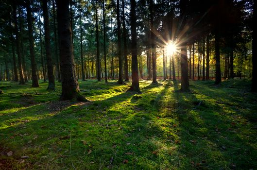gold sunbeams in coniferous forest