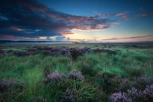 summer sunrise over marsh with flowering heather