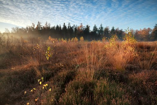 morning sunlight over marsh with orange autumn birch trees