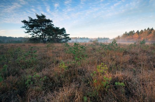 marsh with small pine trees in misty autumn morning
