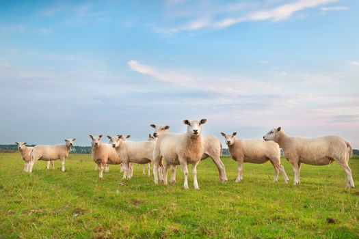 sheep herd on green pasture