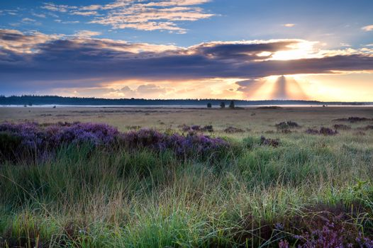 morning sunbeams over marsh with heather