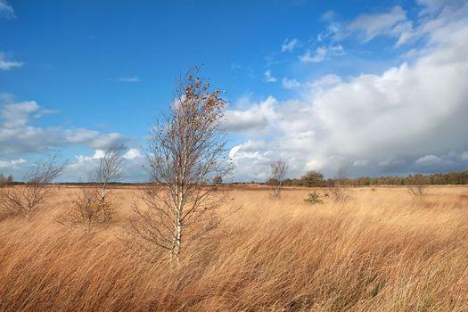 birch trees on marsh over blue sky