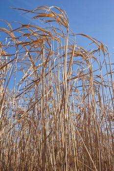 Energy Grasses, Renewable Energy