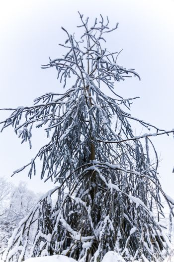 detail of a conifer covered with snow