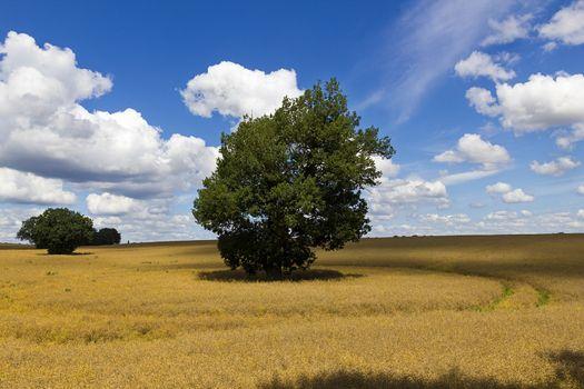 Oak in a field of rapeseed