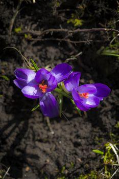 Crocus albiflorus L., springtime.