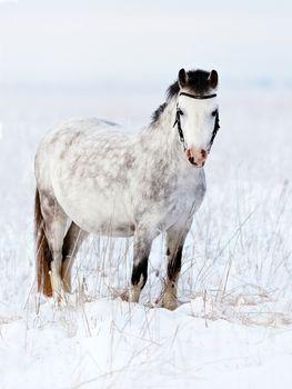 Gray mare in the field.