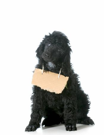dog communication - standard poodle puppy with cardboard sign around neck isolated on white background - 8 weeks old