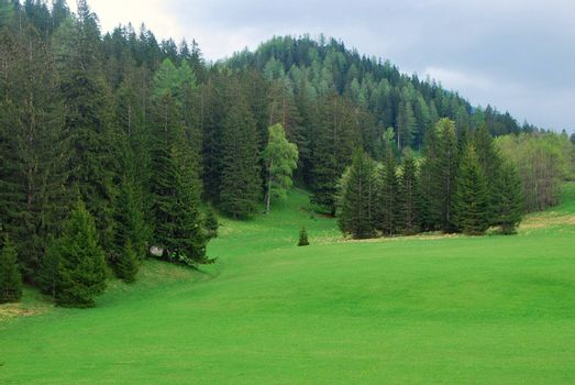 green meadow and pine trees on an alm