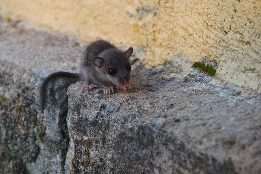 small shrew on a stone in the summer