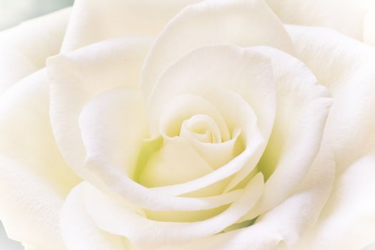 White rose in close view