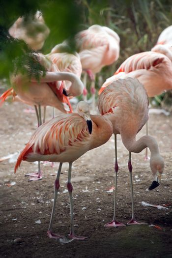 Group pink flamingos under trees