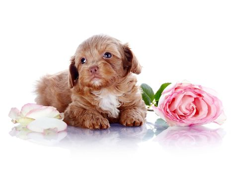 Puppy with a rose
