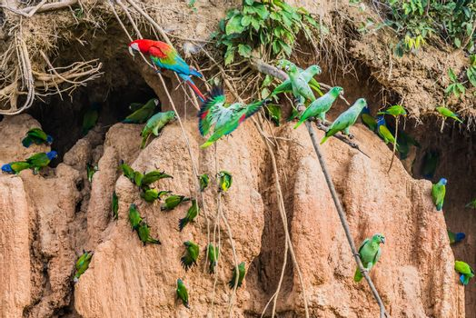 macaws and parrots in clay lick in the peruvian Amazon jungle at