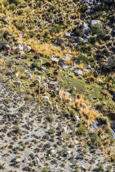 livestock in the peruvian Andes at Arequipa Peru