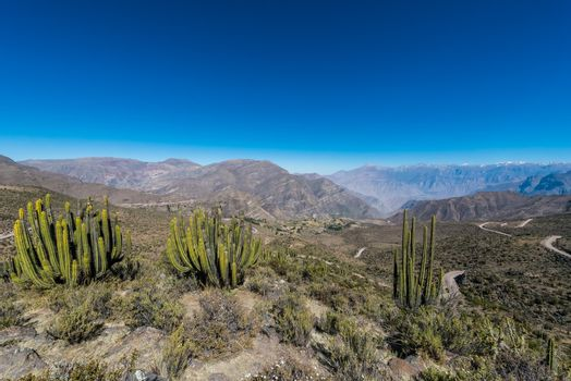 cactus in the peruvian Andes at Arequipa Peru