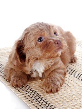 Puppy on a rug