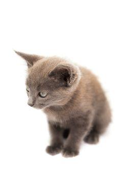 Fluffy grey kitten sitting