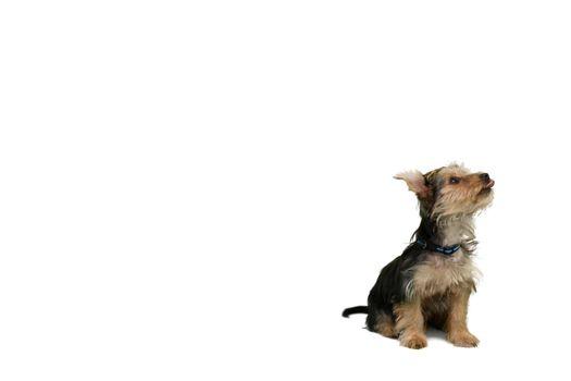 Yorkshire terrier sitting