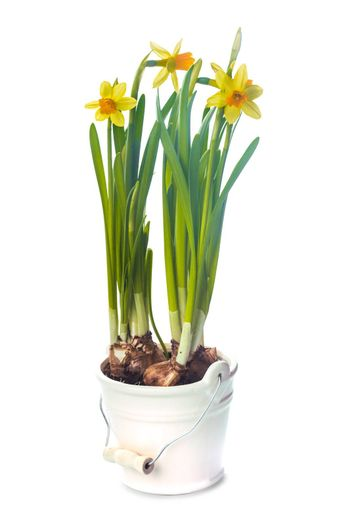 First spring flowers - yellow daffodil in pot isolated on white